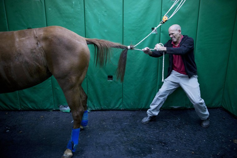 Dr. Gal Kelmer, head of the department of large animals, unties a horse after its operation at the University's Koret School of Veterinary Medicine in Rishon Lezion, Israel. ìHorses have an instinctive response of flight from danger,î Kelmer said. ìThe minute they wake up they start trying to stand and run, even if they donít have control of their limbs. So then they fall.î (AP Photo/Oded Balilty)