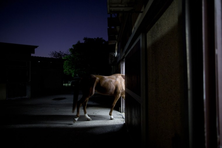 A horse is brought for a treatment at the Hebrew University's Koret School of Veterinary Medicine in Rishon Lezion, Israel. Veterinarians at the hospital operate on about two dozen horses a month and rely on elaborate tools and an army of volunteers to safely treat animals that can weigh more than 1,000 pounds (450 kilograms). (AP Photo/Oded Balilty)