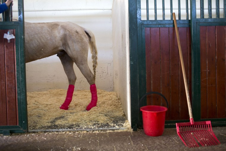 A horse stands in a stall after leg surgery at the Hebrew University's Koret School of Veterinary Medicine in Rishon Lezion, Israel. Veterinarians at the hospital operate on about two dozen horses a month and rely on elaborate tools and an army of volunteers to safely treat animals that can weigh more than 1,000 pounds (450 kilograms). (AP Photo/Oded Balilty)