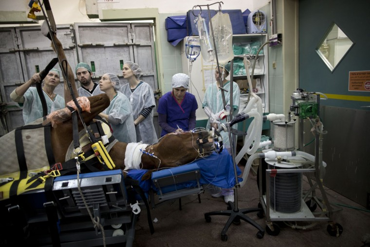 Veterinarians and students prepare a horse with a broken leg for a surgery at the Hebrew University's Koret School of Veterinary Medicine in Rishon Lezion, Israel. Veterinarians at the hospital operate on about two dozen horses a month, most of them pleasure and show horses. To prepare a horse for surgery, anesthesiologists slip an infusion into the animalís jugular vein, which is harder to dislodge than an IV in the leg. (AP Photo/Oded Balilty)
