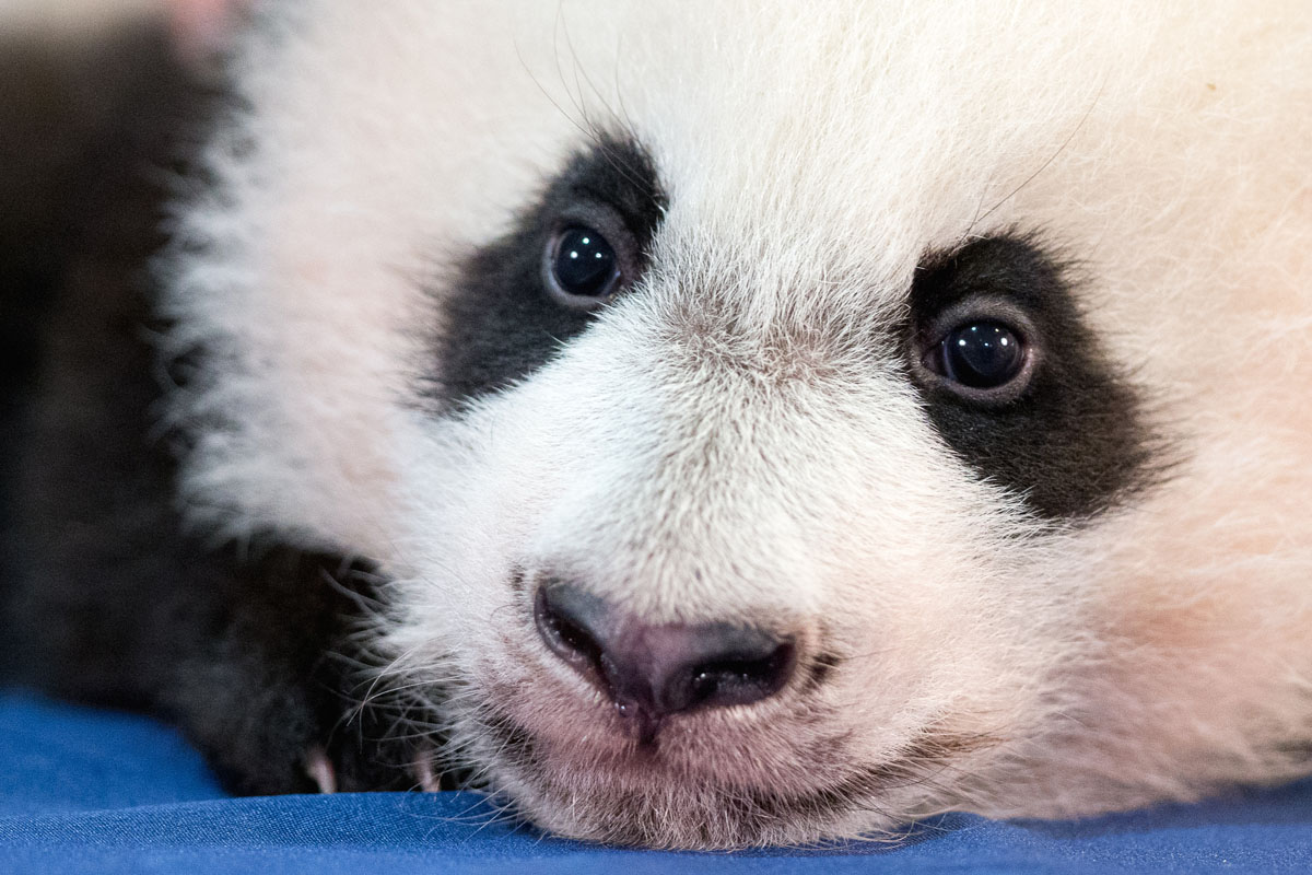 Panda cub in Washington is thriving ahead of public debut