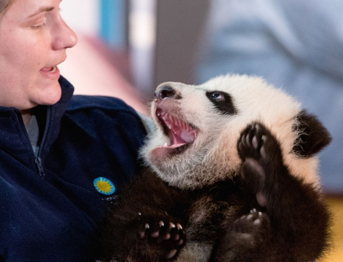 Animal keeper Stacey Tabellario holds Bei Bei, the National Zoo's newest panda and offspring of Mei Xiang and Tian Tian, as he is presented to members of the media at the National Zoo in Washington. The youngest giant panda cub at the National Zoo is ready for his close-up. Bei Bei will make his public debut on Jan. 16. During an audience with a small news media contingent Monday, he was so relaxed that he fell asleep and drooled on an examination table. At nearly 4 months old, Bei Bei weighs more than 17 pounds and is gaining about a pound a week. He's bigger than his older siblings were at the same age. (AP Photo/Andrew Harnik)