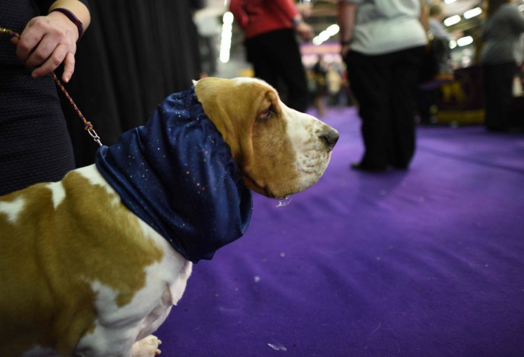 The westminster kennel club 140th annual dog show afp getty images