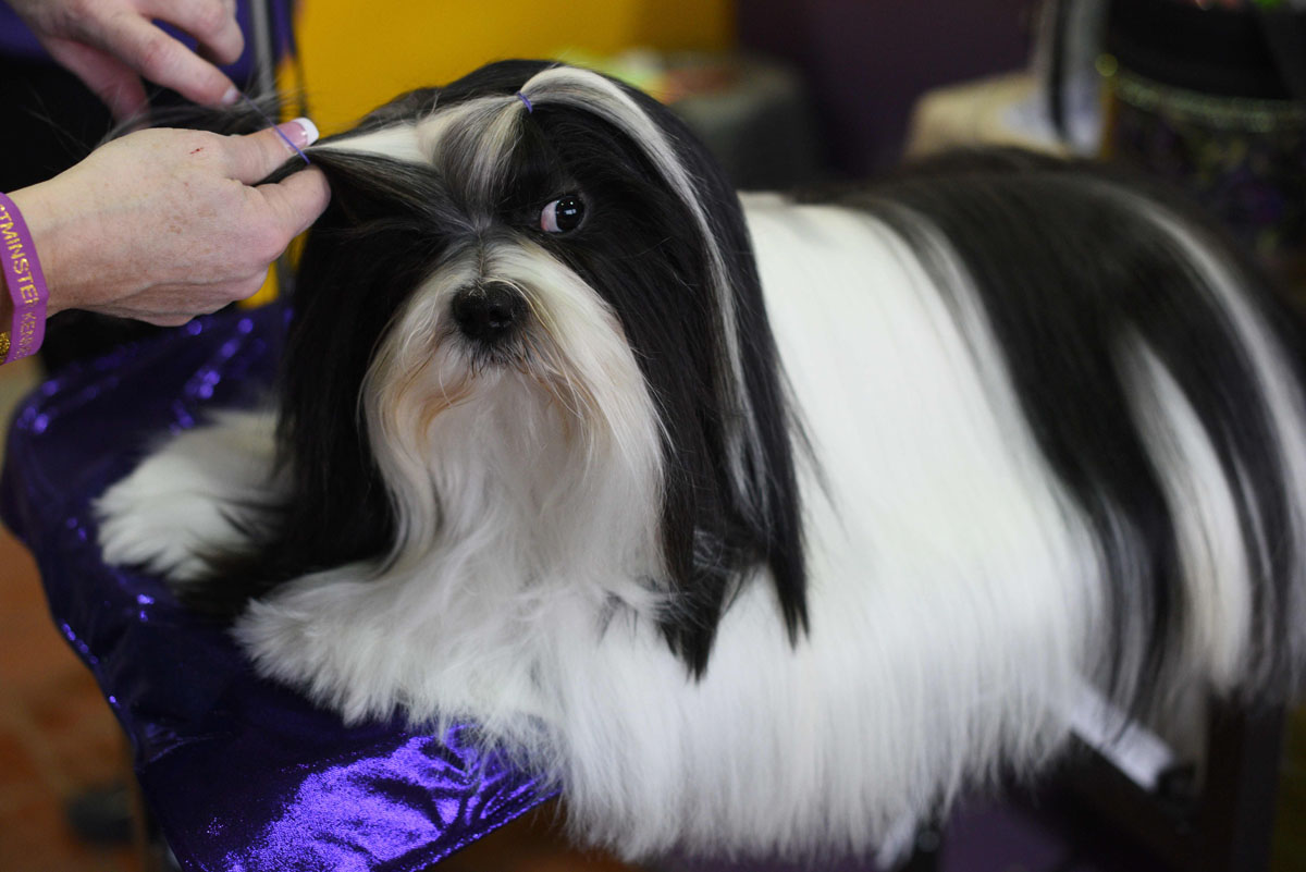Westminster kennel club 140th annual dog show timothy a clary afp