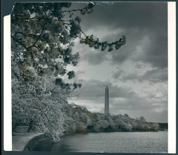 Cherry blossoms in 1963.