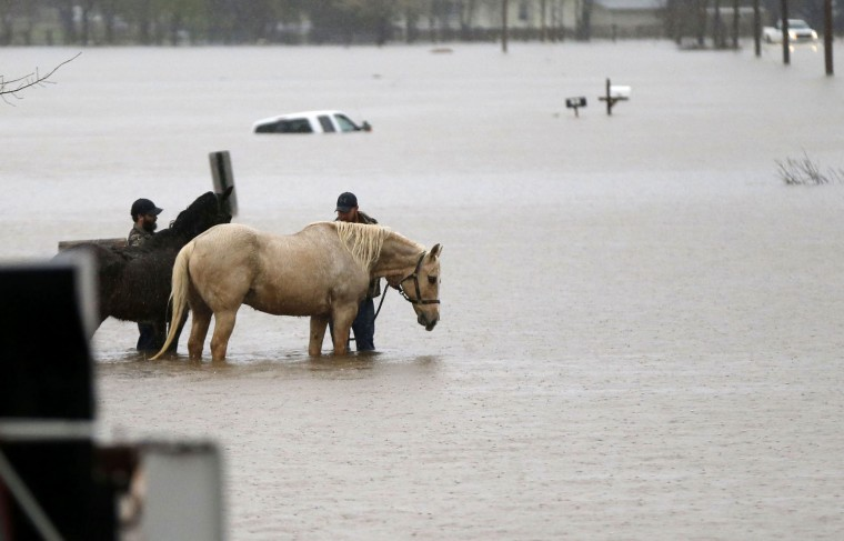 Two men secure two horses in rising floodwaters as a Bossier Parish Sheriff truck passes in Bossier Parish, La., Thursday, March 10, 2016. Heavy rain has forced evacuations and caused flash flooding for more than a day. (AP Photo/Gerald Herbert)