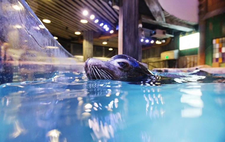 Rescued California Sea Lions At Georgia Aquarium