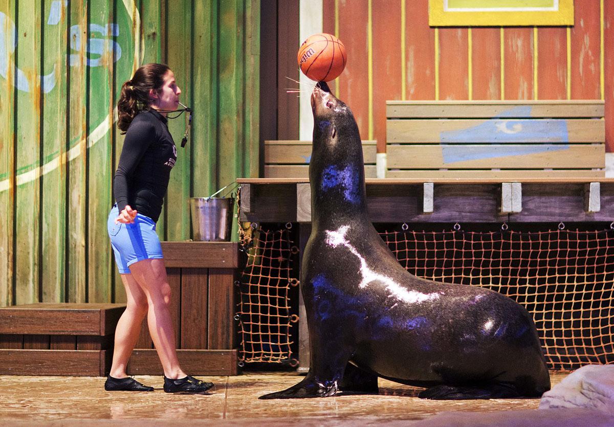 rescued california sea lions at aquarium