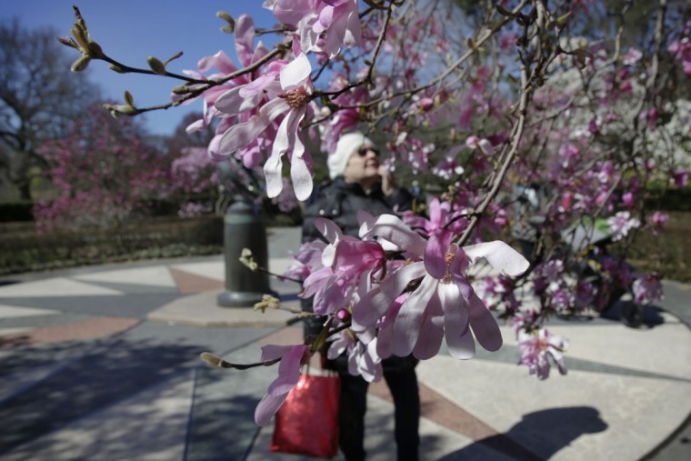 A woman stops to admire blossoms of a Star Magnolia at the Brooklyn Botanic Garden, in New York, Tuesday, March 29, 2016. (AP Photo/Richard Drew)