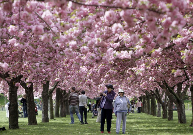 In this file photo of April 29, 2009, visitors stroll under a canopy of blossoming cherry trees at the Brooklyn Botanical Garden in the Brooklyn borough of New York. (AP Photo/Seth Wenig, File)