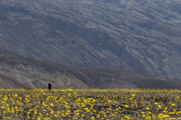 "In this Wednesday, Feb. 24, 2016 photo, a tourist walks through a field carpeted with wildflowers near Badwater Basin in Death Valley, Calif. A rare ""super bloom"" of wildflowers in Death Valley National Park has covered the hottest and driest place in North America with a carpet of gold, attracting tourists from all over the world and enchanting visitors with a stunning display from nature's paint brush. (AP Photo/Jae C. Hong)"