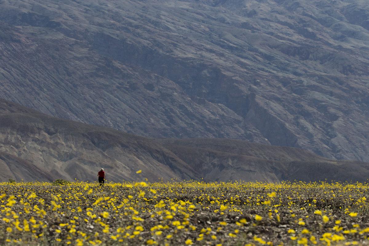 Wildflowers bloom in Death Valley National Park