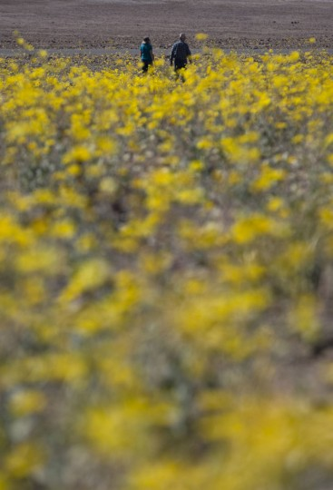 "In this Wednesday, Feb. 24, 2016 photo, Michael Gilbert, top center, and wife, Jan, walk through a field of wildflowers near Badwater Basin in Death Valley, Calif. A rare ""super bloom"" of wildflowers in Death Valley National Park has covered the hottest and driest place in North America with a carpet of gold, attracting tourists from all over the world and enchanting visitors with a stunning display from nature's paint brush. The display happens about once every 10 years and the last time tourists saw so many spring wildflowers was in 2005. (AP Photo/Jae C. Hong)"