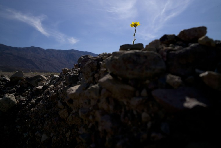 In this Wednesday, Feb. 24, 2016 photo, a wildflower blooms alongside the road near Badwater Basin in Death Valley, Calif. This season, unusual October storms dropped so much rain in the desert that dormant seeds blossomed. (AP Photo/Jae C. Hong)