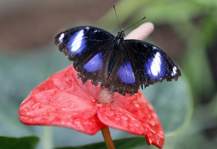 A Great Eggfly butterfly sits on a plant during a photo call for hundreds of tropical butterflies being released, to launch the Natural History Museum's Sensational Butterflies exhibition in London, Wednesday, March 23, 2016. The exhibition opens to the public on March 24 and runs until Sept. 11. (AP Photo/Kirsty Wigglesworth)