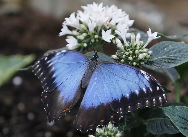 A Blue Morpho butterfly lands on a plant during a photo call for hundreds of tropical butterflies being released, to launch the Natural History Museum's Sensational Butterflies exhibition in London, Wednesday, March 23, 2016. The exhibition opens to the public on March 24 and runs until Sept. 11. (AP Photo/Kirsty Wigglesworth)