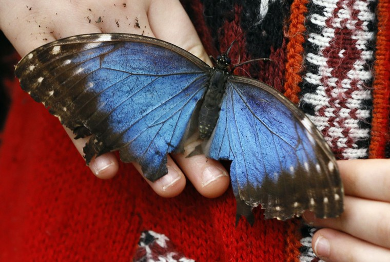 A Blue Morpho butterfly lands on a visitors hands during a photo call for hundreds of tropical butterflies being released, to launch the Natural History Museum's Sensational Butterflies exhibition in London, Wednesday, March 23, 2016. The exhibition opens to the public on March 24 and runs until Sept. 11. (AP Photo/Kirsty Wigglesworth)