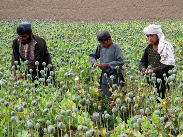 In this photograph taken on April 8, 2016, Afghan farmers harvest opium sap from a poppy field at Gereshk in Helmand Province. Opium poppy cultivation in Afghanistan dropped 19 percent in 2015, compared to the previous year, according to figures from the Afghan Ministry of Counter Narcotics and United Nations Office on Drugs and Crime. (Noor Mohammad/AFP/Getty Images)