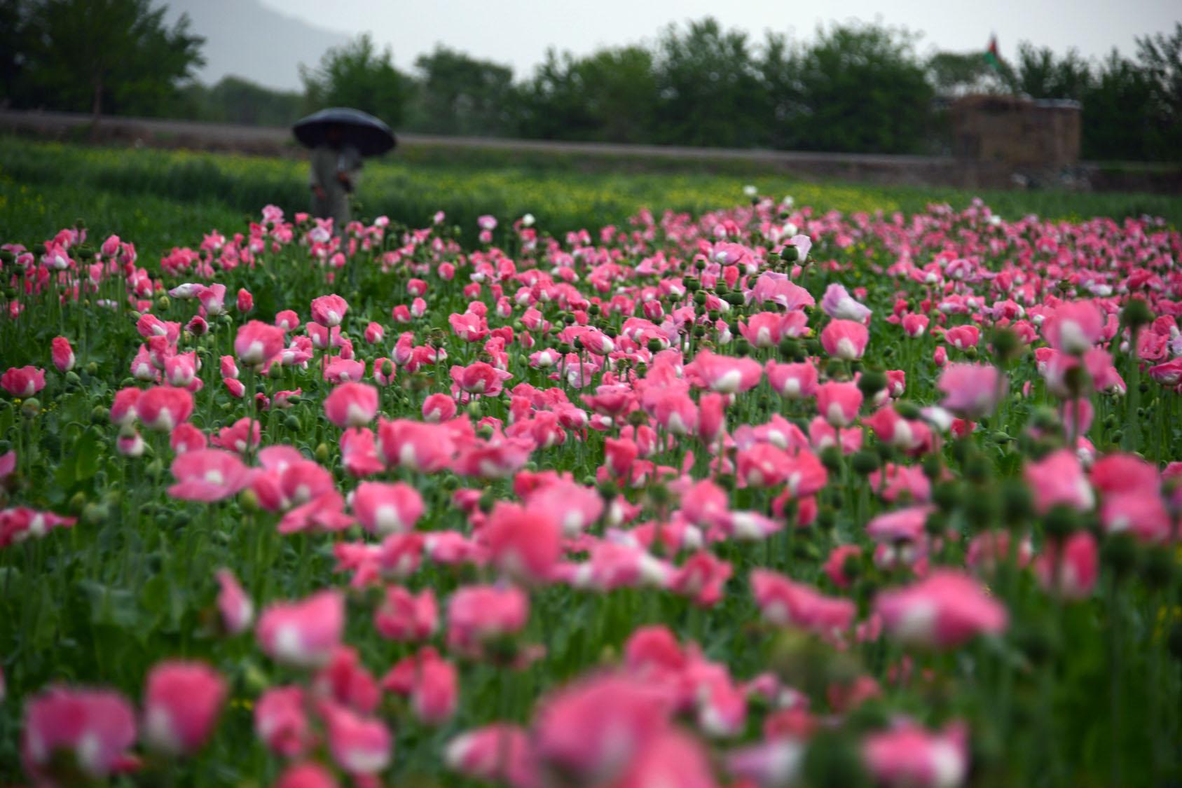 Harvesting Opium In Afghanistans Poppy Fields