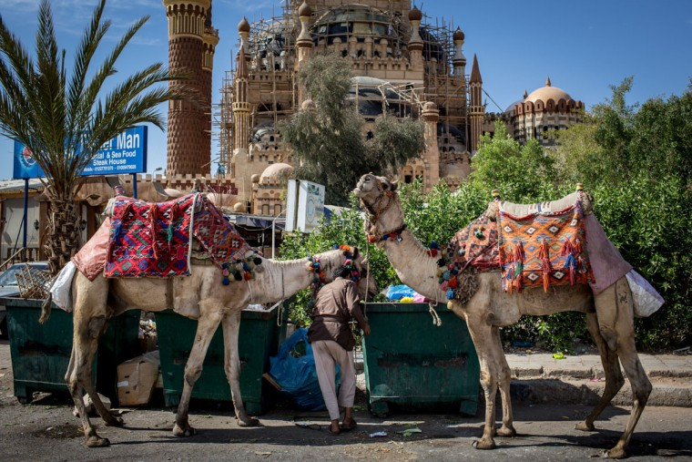 Camels used to give tourist rides are seen being fed out of dumpsters in the Old Market district on April 3, 2016 in Sharm El Sheikh, Egypt. Prior to the Arab Spring in 2011 some 15 million tourists would visit Egypt each year. The resort town of Sharm El Sheikh was built around tourism, however tourist numbers have plummeted after recent terrorist attacks, with flights from major UK carriers being suspended and foreign offices around the world warning citizens of the 'High threat from terrorism' Sharm El Sheikh is almost a ghost town, with many resorts being abandoned and business forced to close. (Photo by Chris McGrath/Getty Images)
