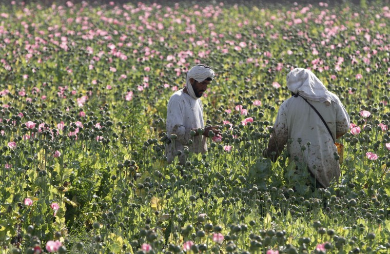 In this Monday, April 11, 2016 photo, Afghan farmers harvest raw opium at a poppy field in Zhari district of southern Kandahar province, Afghanistan. A recent uptick in violence across the south will worsen once the poppy crop is harvested in coming weeks and the extremists deploy gunmen to protect their vast smuggling empire, officials, analysts and diplomats are predicting. (AP Photos/Allauddin Khan)