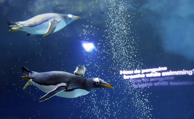 Penguins swim in the Detroit Zoo's new Polk Penguin Conservation Center, Wednesday, April 13, 2016, in Royal Oak, Mich. The new penguin habitat that the zoo calls the worldís largest such facility offers its 80-plus residents new rocks for climbing, waves, snow and better ice conditions, while allowing visitors to come nose-to-beak with the stately birds. A preview Wednesday showed off the $30 million center, which features an underwater gallery and two tunnels where visitors can watch four species of penguins swim above, around and below them. (AP Photo/Carlos Osorio)