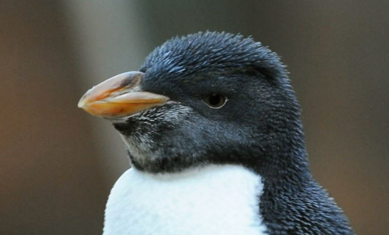 In a March 25, 2016 photo, A juvenile Rockhopper penguin has yet to develop its signature yellow eyebrow feathers, at the Polk Penguin Conservation Center at the zoo in Royal Oak, Mich. The roughly $30 million Polk Penguin Conservation Center at the zoo in the Detroit suburb of Royal Oak is being unveiled to the public on April 18. (Donna Terek/The Detroit News via AP).