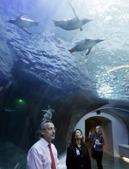 Detroit Zoo Zoo CEO Ron Kagan stands in a tunnel as penguins swim above him in the new Polk Penguin Conservation Center at the zoo, Wednesday, April 13, 2016, in Royal Oak, Mich. A preview Wednesday showed off the $30 million center, which features an underwater gallery and tunnels where visitors can watch species of penguins swim above, around and below them. It opens to the public Monday. (AP Photo/Carlos Osorio)