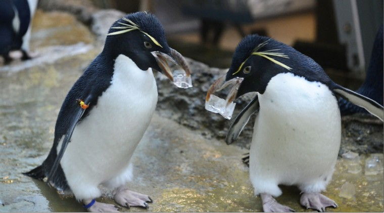 In a March 25, 2016 photo, Rockhopper penguins move ice cubes from place to place in the current Penguinarium. simulating nest-building behavior, in Royal Oak, Mich. Penguins make their nests with rocks. During nesting season zookeepers will give them river rocks to work with. The roughly $30 million Polk Penguin Conservation Center at the zoo in the Detroit suburb of Royal Oak is being unveiled to the public on April 18. (Donna Terek/The Detroit News via AP).