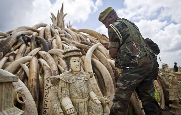 A ranger from the Kenya Wildlife Service (KWS) adjusts the positioning of tusks on one of around a dozen pyres of ivory, in Nairobi National Park, Kenya Thursday, April 28, 2016. The wildlife service has stacked 105 tons of ivory consisting of 16,000 tusks, and 1 ton of rhino horn, from stockpiles around the country, in preparation for it to be torched on Saturday to encourage global efforts to help stop the poaching of elephants and rhinos. (AP Photo/Ben Curtis)