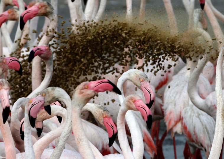 Someone throws food towards pink flamingos standing in the water at the Ras al-Khor Wildlife Sanctuary on the outskirts of Dubai, in the United Arab Emirates, on April 5, 2016. (KARIM SAHIB/AFP/Getty Images)