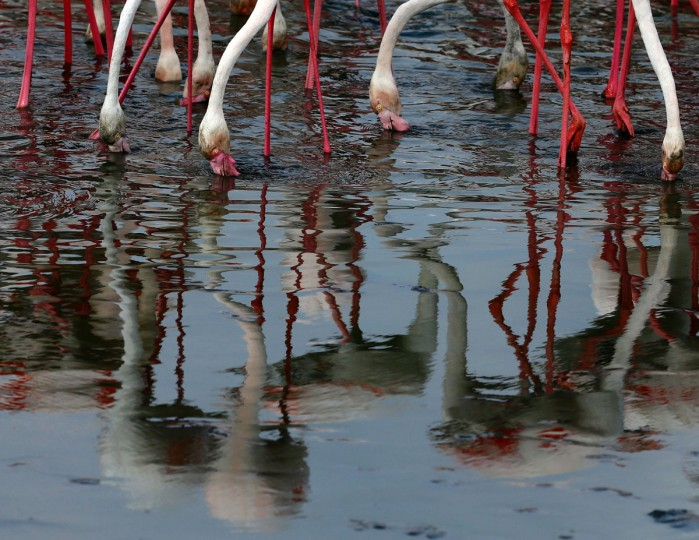 Pink flamingos search for food in the water at the Ras al-Khor Wildlife Sanctuary on the outskirts of Dubai, in the United Arab Emirates, on April 5, 2016. (KARIM SAHIB/AFP/Getty Images)