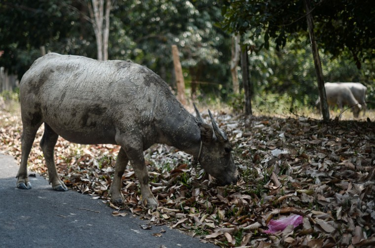 A buffalo eats grass hidden under a cover of dead leaves as schools remain closed due to the ongoing heatwave in Temerloh, outside Kuala Lumpur, on April 11, 2016. (MOHD RASFAN/AFP/Getty Images)