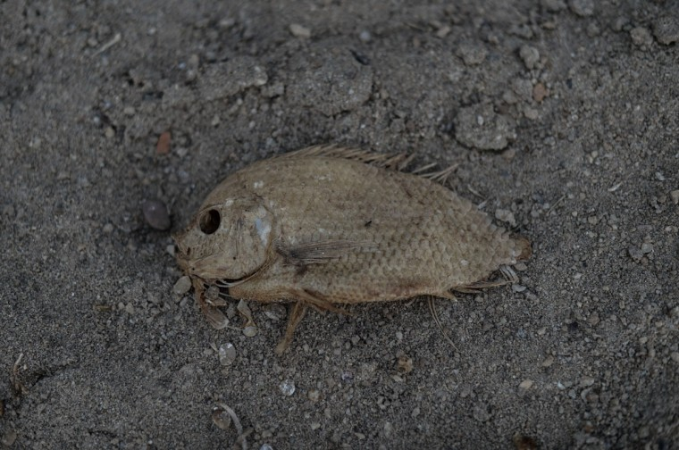 A dead fish is seen on the dry banks of the Pahang river during the ongoing heatwave in Termerloh, outside Kuala Lumpur, on April 11, 2016. (MOHD RASFAN/AFP/Getty Images)