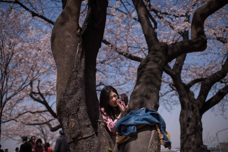 In a photo taken on April 5, 2016 a woman sets up a mobile phone beneath cherry blossoms on Yeouido island in Seoul. The annual cherry blossom festival on Yeouido island in central Seoul runs from April 1-10. (ED JONES/AFP/Getty Images)