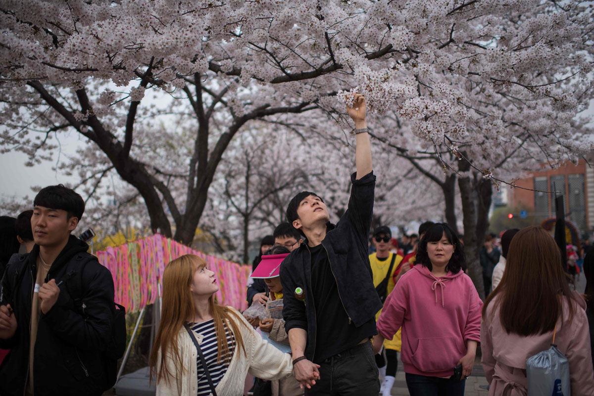 Cherry blossom festival on South Korea's Yeouido island