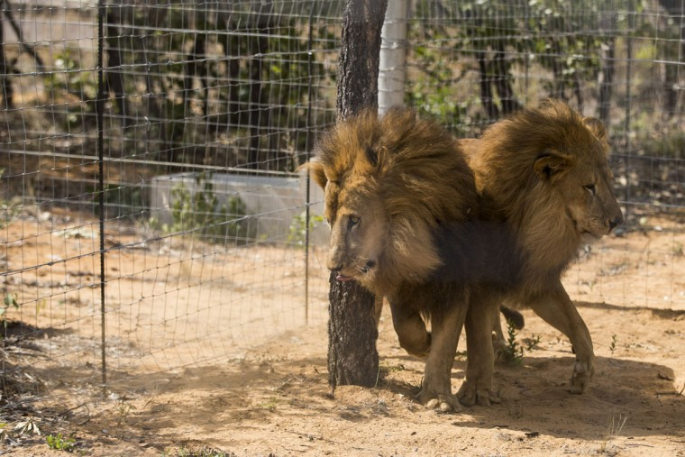 33 lions airlifted to sanctuary