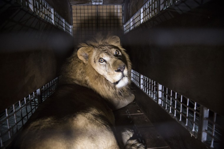 JOHANNESBURG, SOUTH AFRICA - APRIL 30: A crate carrying one of the 33 Lions rescued from circuses in Peru and Columbia is lifted onto the back of a lorry before being transported to a private reserve on April 30, 2016 in Johannesburg, South Africa. A total of 33 former circus Lions, 22 males and 11 females from Peru and Columbia have been airlifted to South Africa to live out their lives on a private reserve in the Limpopo Province. 24 of the animals were rescued in raids on circuses operating in Peru, with the rest voluntarily surrendered by a circus in Colombia after Colombias Congress passed a bill prohibiting circuses from using wild animals. The trip has been coordinated by the animal rights group 'Animal Defenders International'. (Photo by Dan Kitwood/Getty Images)