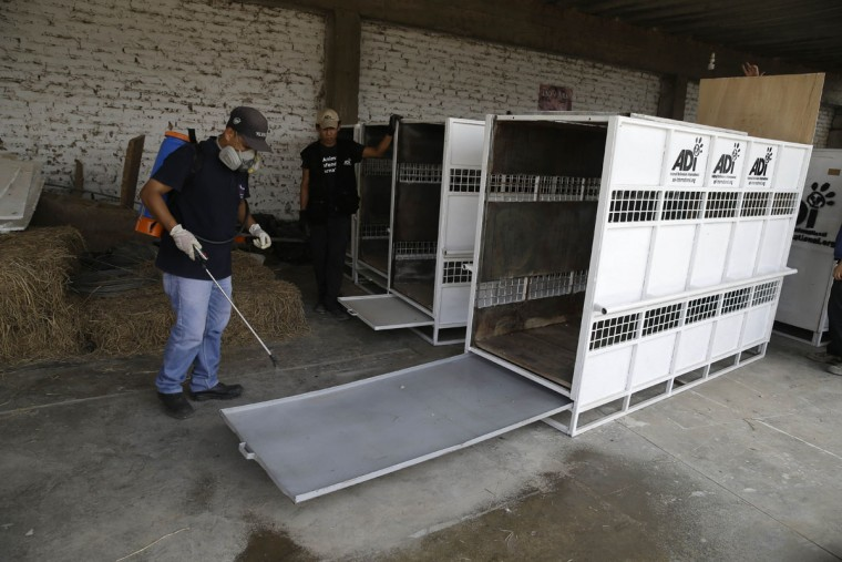 Workers of Animal Defenders International, ADI, disinfect several cages which will be used to transport former circus lions to South Africa, in the outskirts of Lima, Peru, Tuesday, April 26, 2016. Thirty-three lions rescued from circuses in Peru and Colombia are heading back to their homeland to live out the rest of their lives in a private sanctuary in South Africa. The largest ever airlift of lions will take place Friday and was organized and paid for by ADI. (AP photo/Martin Mejia)