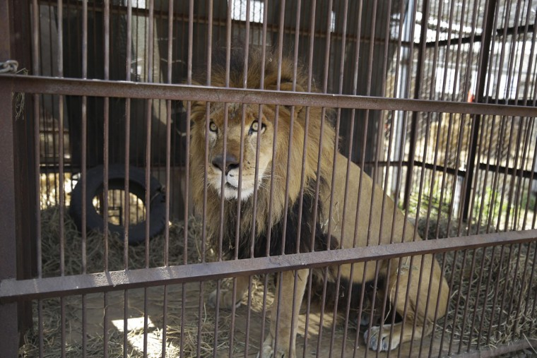 In this April 26, 2016 photo, a former circus lion sits in a cage on the outskirts of Lima, Peru. Thirty-three lions rescued from circuses in Peru and Colombia are heading back to their homeland on Friday, April 29 to live out the rest of their lives in a private sanctuary in South Africa. The operation is the largest ever airlift of lions, organized and paid for by Animal Defenders International (ADI). (AP photo/Martin Mejia)