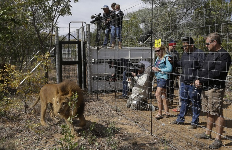 A former circus lion explores the enclosure as members of the media and the staff watch his acclimatization at Emoya Big Cat Sanctuary in Vaalwater, South Africa, Sunday, May 1, 2016. Thirty-three lions rescued from various circuses in Peru and Colombia are being relocated to live out the rest of their lives in a private sanctuary in South Africa, organized and paid for by Animal Defenders International.(AP Photo/Themba Hadebe)