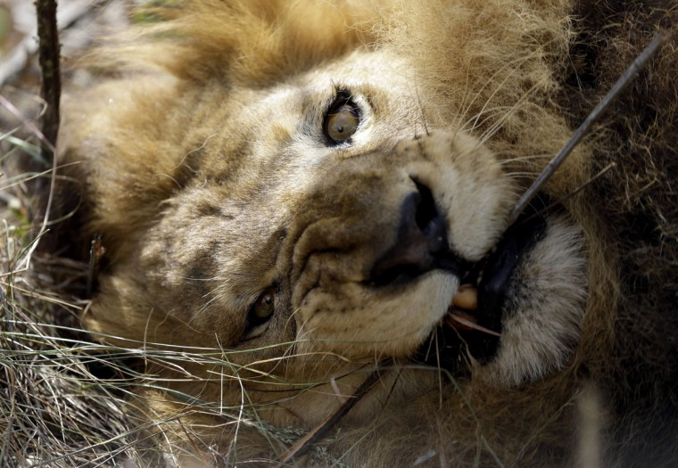 A former circus lion bites a tree branch inside an enclosure at Emoya Big Cat Sanctuary in Vaalwater, northern, South Africa, Sunday, May 1, 2016. Thirty-three lions rescued from circuses in Peru and Colombia are heading back to their homeland to live out the rest of their lives in a private sanctuary in South Africa. The operation is the largest ever airlift of lions, organized and paid for by Animal Defenders International. (AP Photo/Themba Hadebe)