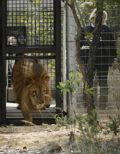 A former circus lion is released into an enclosure, at Emoya Big Cat Sanctuary in Vaalwater, northern, South Africa, Sunday, May 1, 2016. Thirty-three lions rescued from circuses in Peru and Colombia are heading back to their homeland to live out the rest of their lives in a private sanctuary in South Africa. The operation is the largest ever airlift of lions, organized and paid for by Animal Defenders International. (AP Photo/Themba Hadebe)