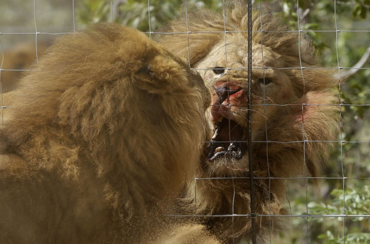 Former circus lions flight after being released into an enclosure at Emoya Big Cat Sanctuary in Vaalwater, northern, South Africa, Sunday, May 1, 2016. Thirty-three lions rescued from circuses in Peru and Colombia are heading back to their homeland to live out the rest of their lives in a private sanctuary in South Africa. The operation is the largest ever airlift of lions, organized and paid for by Animal Defenders International. (AP Photo/Themba Hadebe)