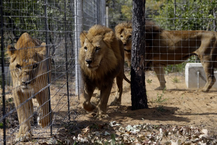 Former circus lions inside an enclosure at Emoya Big Cat Sanctuary in Vaalwater, South Africa, Sunday, May 1, 2016. Thirty-three lions rescued from various circuses in Peru and Colombia are being relocated to live out the rest of their lives in a private sanctuary in South Africa, organized and paid for by Animal Defenders International. (AP Photo/Themba Hadebe)