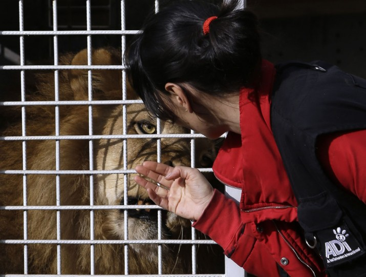 Unidentified member of Animal Defenders International (ADI), tries to comfort a former circus lion at Emoya Big Cat Sanctuary in Vaalwater, northern, South Africa, Sunday, May 1, 2016. Thirty-three lions rescued from various circuses in Peru and Colombia are being relocated to live out the rest of their lives in a private sanctuary in South Africa, organized and paid for by Animal Defenders International. (AP Photo/Themba Hadebe)