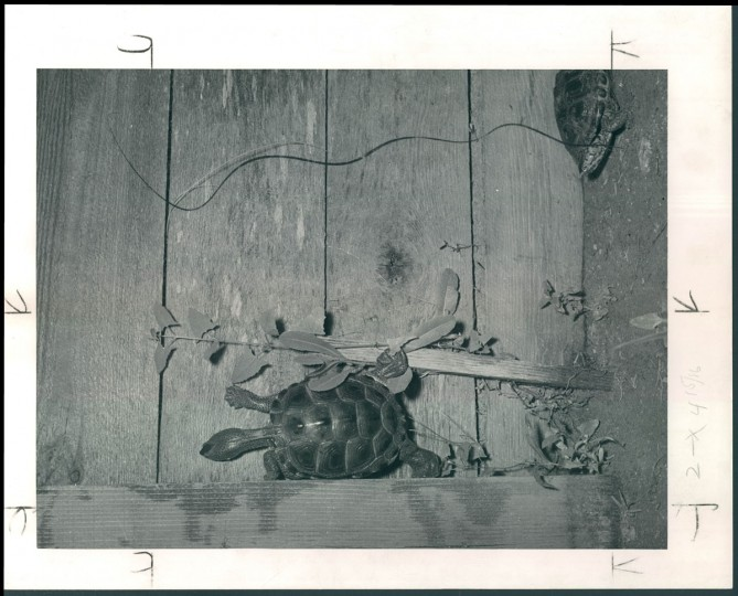 """This photo from November 14, 1948 shows a captured terrapin on its way to the marketplace. Though terrapin was once the signature delicacy in Maryland cuisine, by the 1940s, it had declined substantially. The Sun reported in 1952 that """"The fishermen don't know what to do with them, because people won't eat them."""" (Bodine/Baltimore Sun)"""