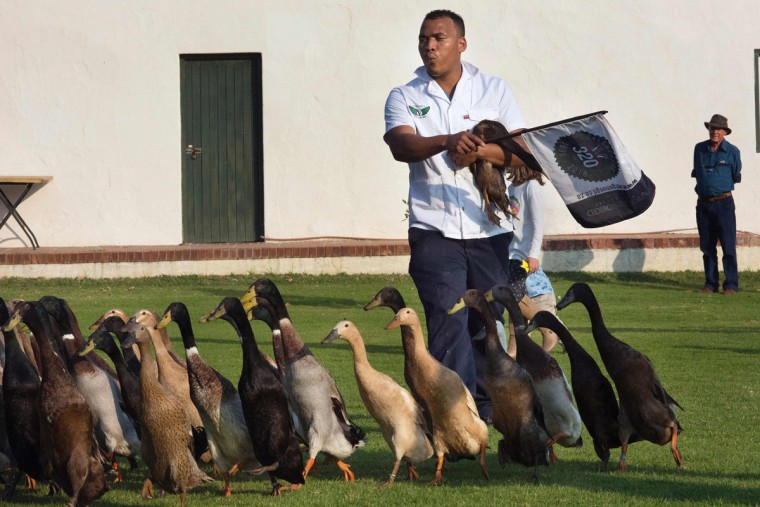 A Vergenoegd wine estate's employee shepherds a trained duck-herd of approximately 1000 Indian Runner ducks as a tourist watches, at Vergenoegd wine estate on June 3, 2016 near Stellenbosch. The ducks eat snails and other pests which threaten the grapevines, allowing the farm to avoid using toxic pesticides, and they also fertilise the ground with their droppings. The ducks sleep in an enclosed pen, and are herded out to the vineyards in the day, then for a swim in the dam, and then back to their pen in the late afternoon. (AFP Photo/Rodger Bosch)