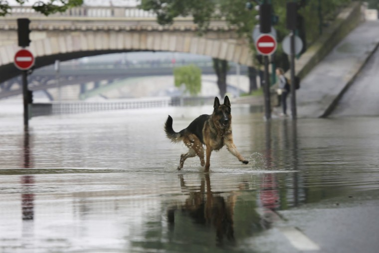 A dog plays on the overflowing river Seine in Paris, Wednesday, June 1, 2016. The Seine River has overflowed embankments in Paris as floods hit or threaten cities and towns around France. (AP Photo/Jerome Delay)