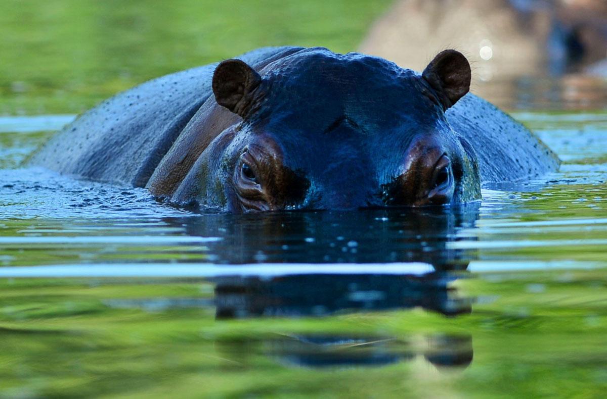 Pablo Escobar's pet hippos